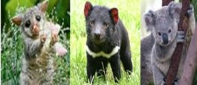 wombat_tasdevil_koala_v
